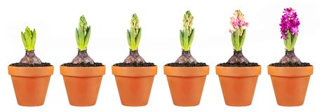 Hyacinth growth stage isolated on white background. Flowers in clay flowerpots stock photography