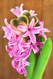 Hyacinth with hearts Royalty Free Stock Photography