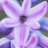 Hyacinth Hug Royalty Free Stock Photos
