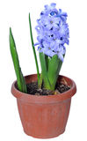 Hyacinth. Hyacínthus Royalty Free Stock Photos