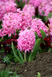 Hyacinth - hyacinthaceae Fotos de Stock