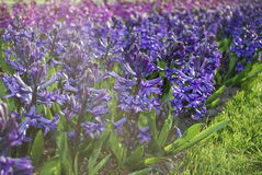 Hyacinth Hyacinthus blue and purple plants. Royalty Free Stock Images