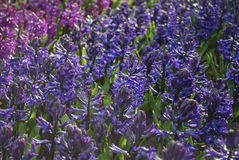 Hyacinth Hyacinthus blue and purple plants. Stock Photos