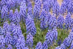 Hyacinth Royalty Free Stock Photo