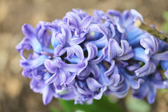 Hyacinth   (Hyacinthus) Royalty Free Stock Photos