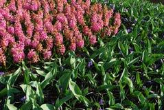 Hyacinth Hyacinthus rosa Fotografia Stock Libera da Diritti