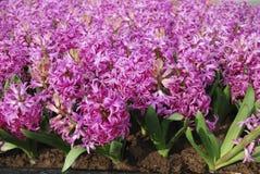 Hyacinth Hyacinthus rosado Foto de archivo libre de regalías