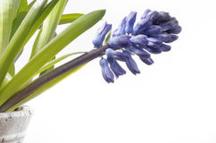 Hyacinth isolated Royalty Free Stock Photography