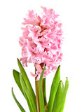Hyacinth isolated. Pink hyacinth isolated on white Stock Photos