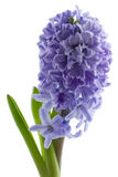 Hyacinth Isolated Royalty Free Stock Photos