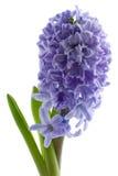 Hyacinth isolated. Blue hyacinth isolated on white Royalty Free Stock Photos