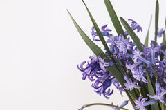 Hyacinth. An isolated bunch of beautiful purple hyacinths. Shot isolated, on the right side Royalty Free Stock Image