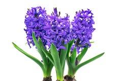 Hyacinth isolated Stock Image