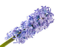 Hyacinth isolated on white Royalty Free Stock Images