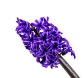 Hyacinth isolated on white background. Royalty Free Stock Image