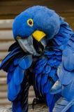 Hyacinth Macaaw fågel Royaltyfri Fotografi