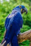 Hyacinth Macaaw fågel Fotografering för Bildbyråer