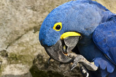 Hyacinth Macaw. Detail head and leg Hyacinth Macaw Royalty Free Stock Photography