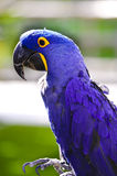 Hyacinth Macaw Royalty Free Stock Photos