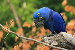 Hyacinth macaw. The hyacinth macaw on the branch Royalty Free Stock Image
