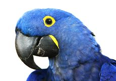 Hyacinth Macaw. Brilliant blue hyacinth macaw with a yellow ring around its eye Stock Photos