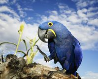 Hyacinth Macaw Royalty Free Stock Images