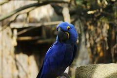 Hyacinth Macaw Royaltyfri Fotografi