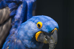 Hyacinth Macaw Stock Photo
