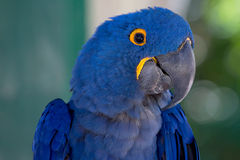 Hyacinth Macaw Stockfoto