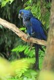 Hyacinth Macaw Imagen de archivo libre de regalías