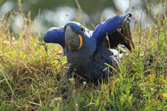 Hyacinth Macaw Royalty-vrije Stock Afbeelding