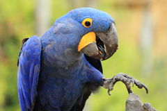 Hyacinth Macaw Immagine Stock