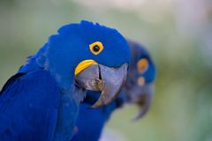 Hyacinth Macaw Fotos de Stock