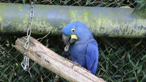 Hyacinth Macaw Stockfoto