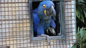 Hyacinth Macaw Lizenzfreie Stockfotografie