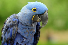 Hyacinth Macaw Fotos de Stock Royalty Free