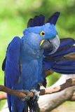 Hyacinth macaw. The hyacinth macaw (Anodorhynchus hyacinthinus) is a handsome bird, deep cobalt blue in colour, with a golden eye ring and bill base. It is found Stock Image