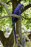 Hyacinth Macaw royaltyfri foto