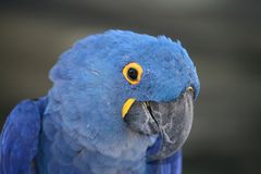 Hyacinth Macaw. A portrait of a hyacinth macaw Royalty Free Stock Photos