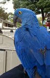 Hyacinth Macaw Immagine Stock
