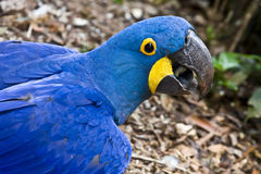 Hyacinth Macaw. Closeup of Hyacinth Macaw (Great Blue Macaw stock photography