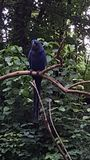 Hyacinth Macaw 1 Stock Afbeeldingen