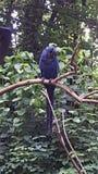 Hyacinth Macaw 2 Foto de Stock Royalty Free