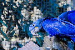 Hyacinth Macaw Stockbild