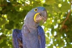 Hyacinth Macaw Lizenzfreie Stockbilder