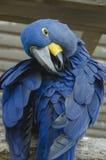 Hyacinth Macaw Arkivfoto