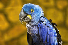 Hyacinth Macaw Imágenes de archivo libres de regalías