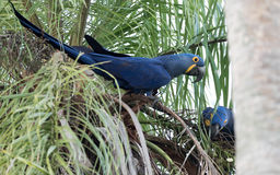 Hyacinth Macaw Immagini Stock Libere da Diritti