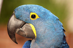Hyacinth macaw. Hyacinth or blue macaw closeup of the head stock photography