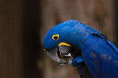 Hyacinth Macaw stockfotos